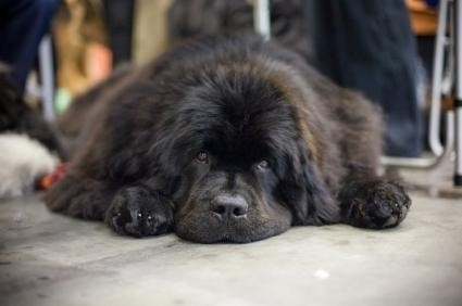 141090 425×282 Newfie enjoying some down time