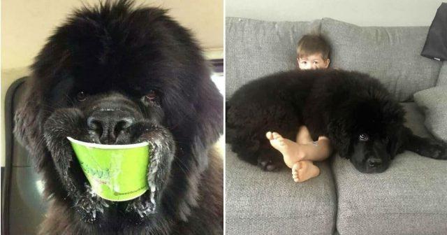 Adorable photos of newfoundland dogs