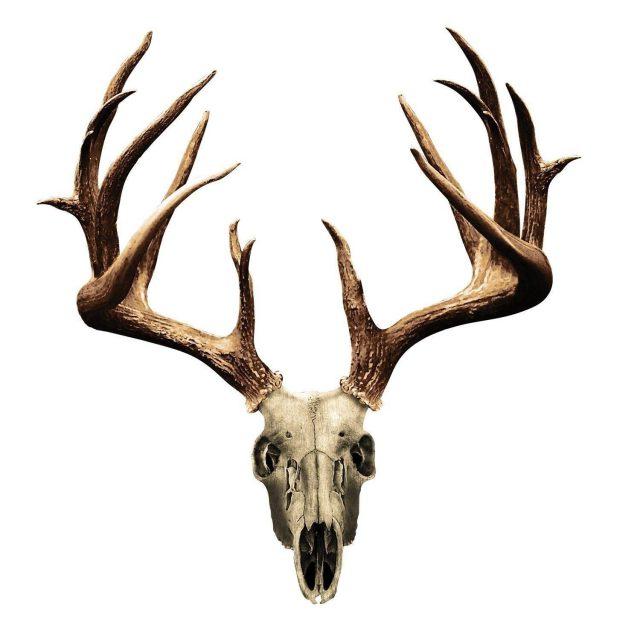 Elk skull drawing 63